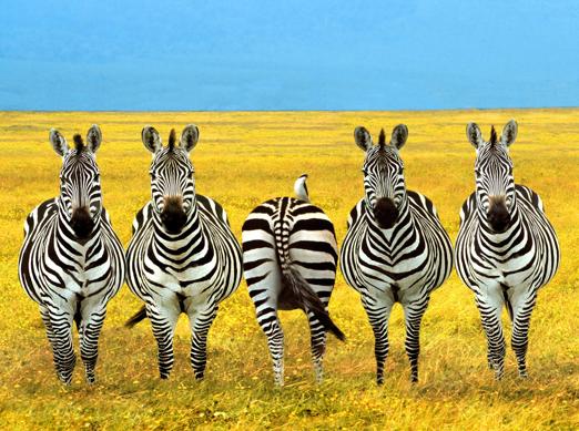 Different - Zebra